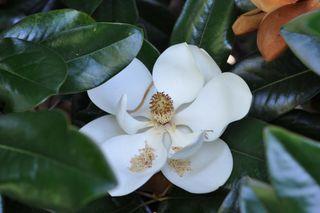 Magnoliasm