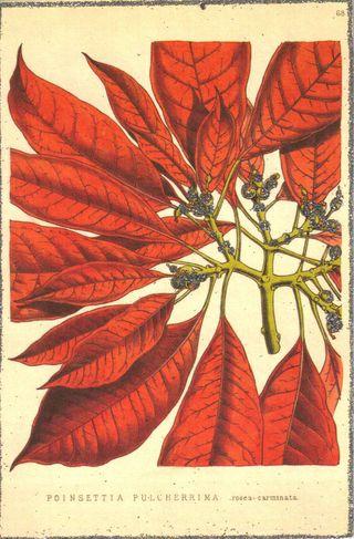 Poinsettia2SM