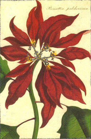 PoinsettiaSM