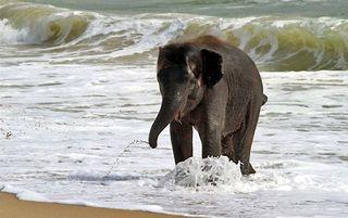 Elephant_swim_01