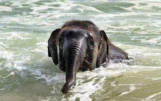 Elephant_swim_05