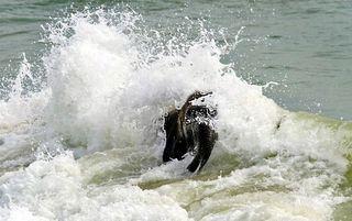 Elephant_swim_03