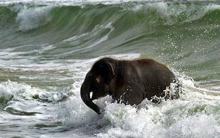 Elephant_swim_04