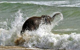 Elephant_swim_06