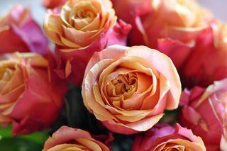 CherryBlossomRoses2